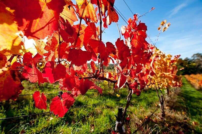 barossa valley vine leaves